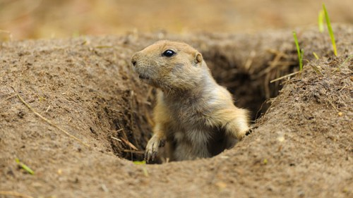 Prairie Dog Facts