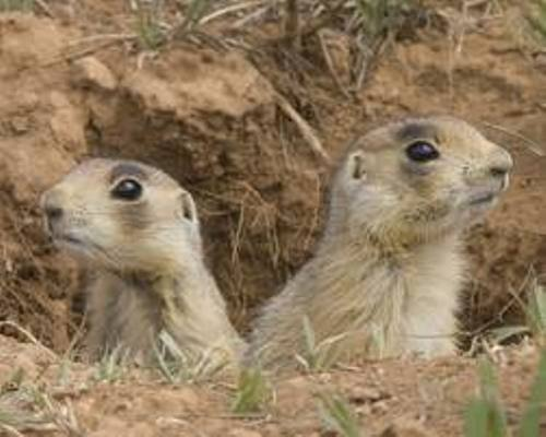 Prairie Dog Images