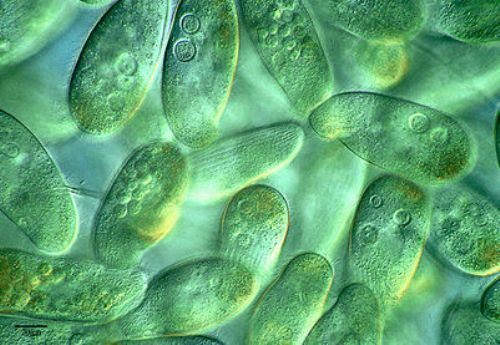 10 Interesting Protist Facts | My Interesting Facts