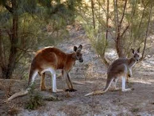 Red Kangaroo Images