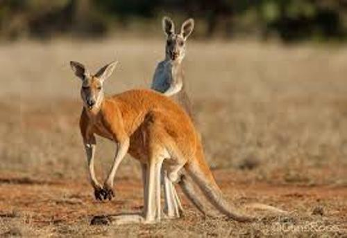 Red Kangaroo Pic