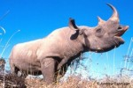 10 Interesting Black Rhinos Facts