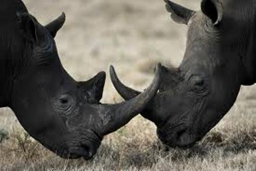 Facts about Black Rhinos