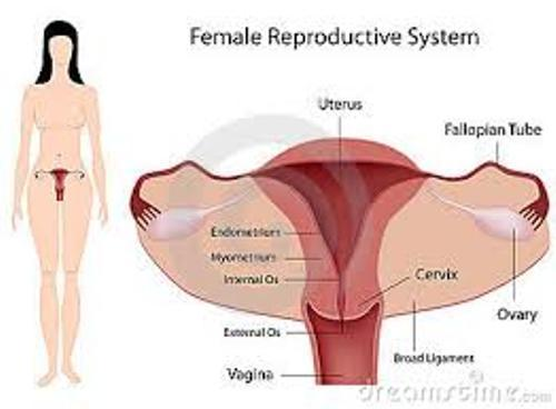 Reproductive System Female