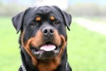 10 Interesting Rottweiler Facts
