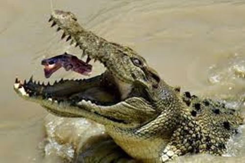 Saltwater Crocodile Eating