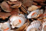 10 Interesting Scallop Facts