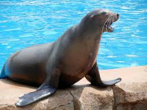 California Sea Lion Facts For Kids