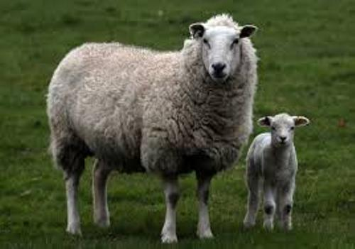 Facts about Sheep