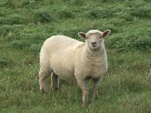 Sheep Pic