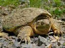 10 Interesting Snapping Turtle Facts