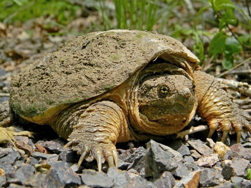 Facts about Snapping Turtles
