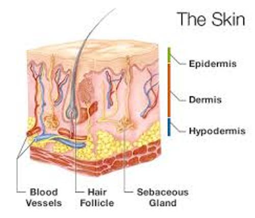 Skin Facts