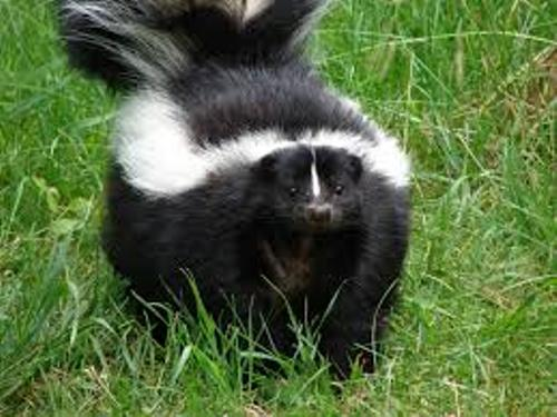 Skunk Facts