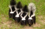 10 Interesting Skunk Facts