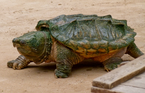 Snapping Turtle Facts