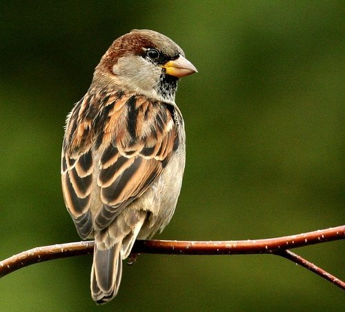 Sparrow Pic