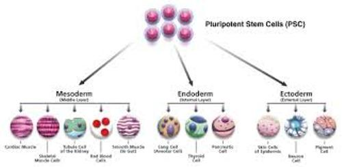 Stem Cell Pic