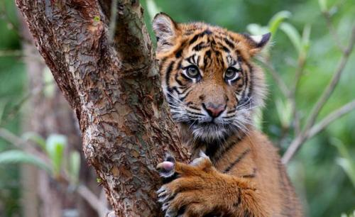 Facts about Sumatran Tiger