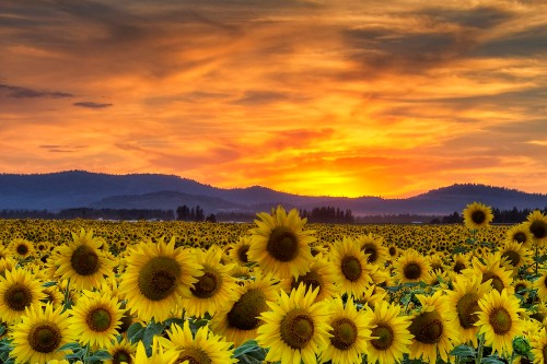 Facts about Sunflower