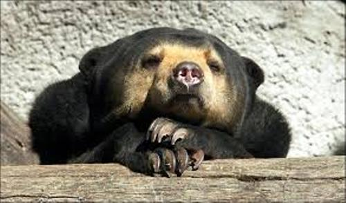 Facts about sun bear