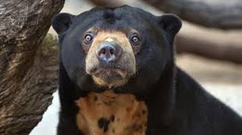 sun bear Facts