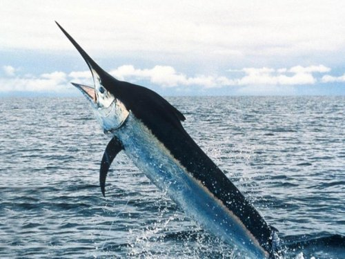 Swordfish Facts