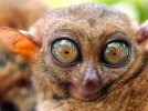 10 Interesting Tarsier Facts