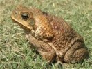 10 Interesting the Cane Toad Facts