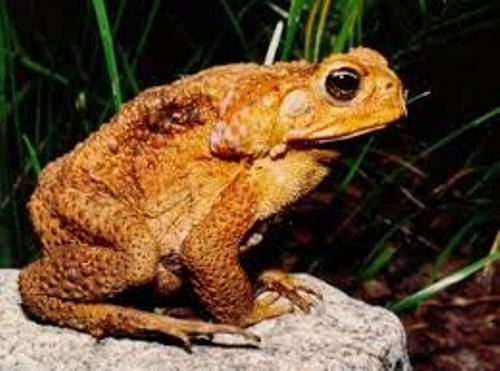 The Cane Toad Facts