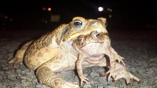 The Cane Toad Pic