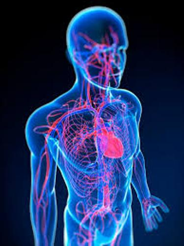 The Cardiovascular System facts