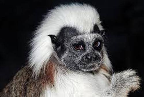 The Cotton Top Tamarin Images