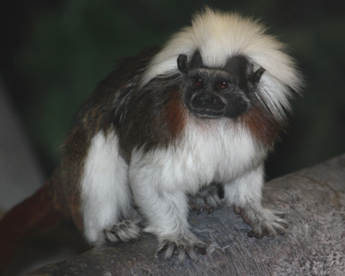 The Cotton Top Tamarin