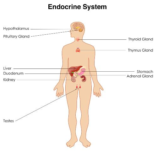 The Endocrine System Facts 4: the importance of endocrine system
