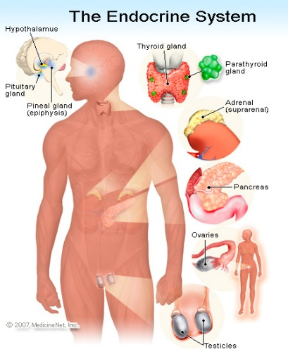 Facts about The Endocrine System
