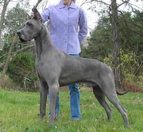 Great Dane Height