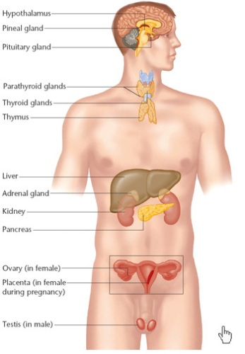 The Endocrine System Facts