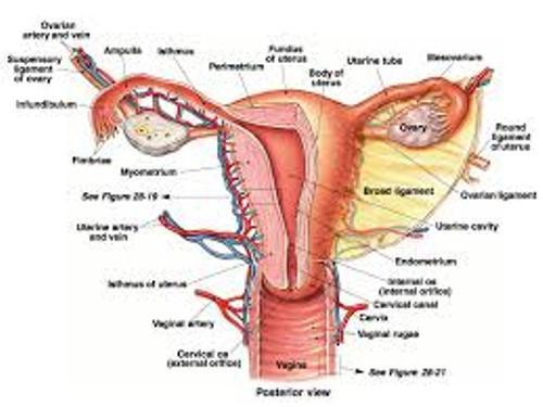 the Female Reproductive System Facts