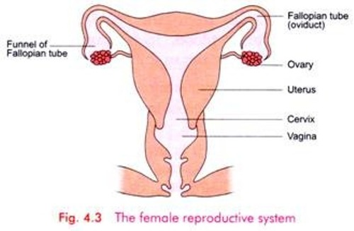 the Female Reproductive System Pic