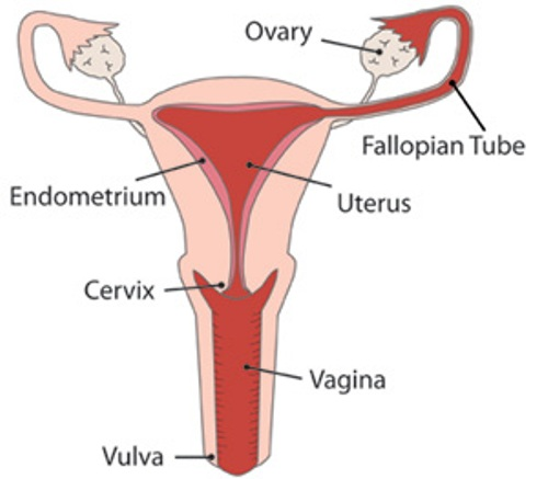 the Female Reproductive System Pictures