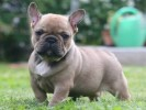 10 Interesting French bulldog Facts