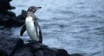 10 Interesting Galapagos Penguin Facts