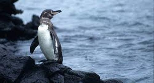 Facts about Galapagos Penguin