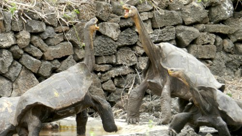 Facts about The Galapagos Tortoise