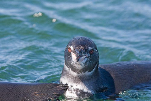 Galapagos Penguin Pictures
