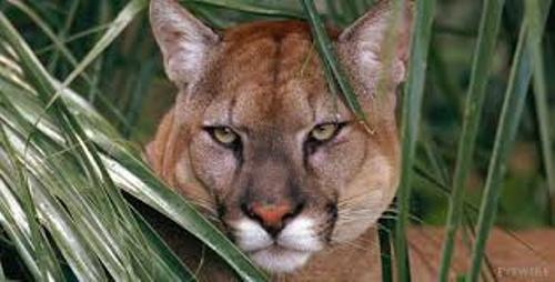 The Florida Panther Facts