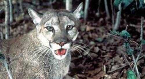 The Florida Panther Images
