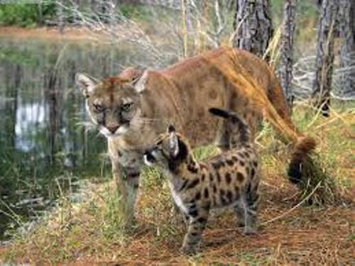 The Florida Panther Pic