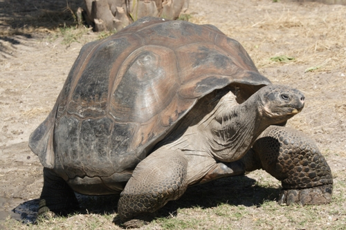 The Galapagos Tortoise Facts